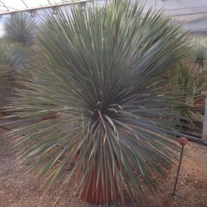 Yucca rostrata 25 Litre