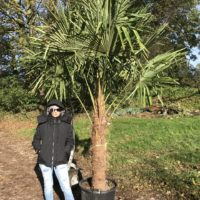 Trachycarpus fortunei - 110-120cm trunk