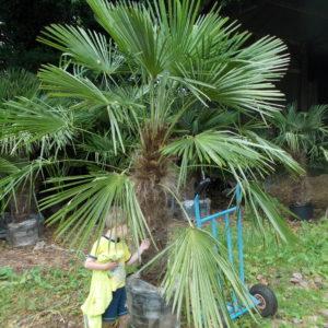 Trachycarpus fortunei 80-90cm trunk