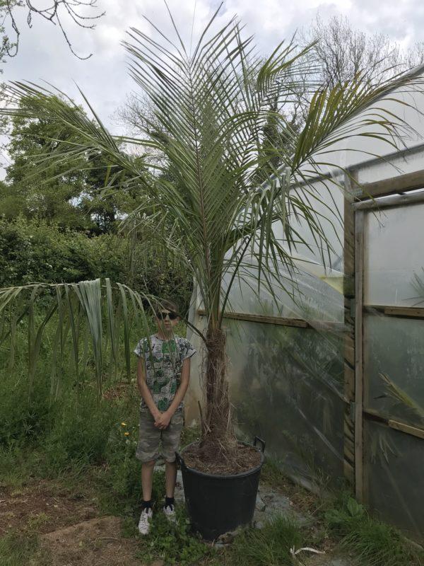 Parajubaea torallyi var torallyi - 60-80cm trunk