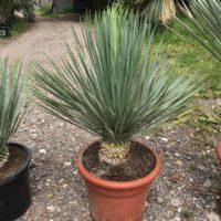 Yucca rostrata - 15 litre