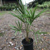 Trachycarpus fortunei - 3 litre cold grown
