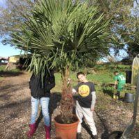 Trachycarpus fortunei - 70-80cm trunk