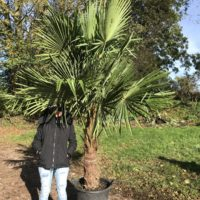 Trachycarpus fortunei - 90-100cm trunk
