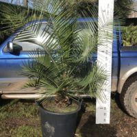 Jubaea chilensis - 90L pot grown 30cm trunk