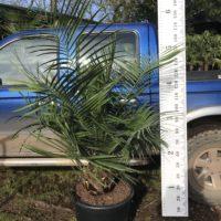 Jubaea chilensis - 50 litre 25cm trunk