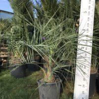 Butia capitata (odorata) - 35 litre pot size