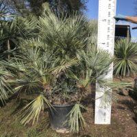 Chamaerops humilis cerifera - 50 litre