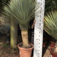 Yucca rostrata - 50-60 trunk