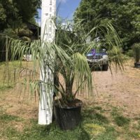 Butia capitata (odorata) - 50 litre pot grown