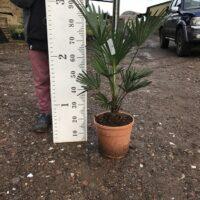 Trachycarpus wagnerianus - 7 litre