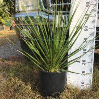 Dasylirion serratifolia - 7 litre
