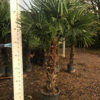 Trachycarpus fortunei - 100-110cm trunk