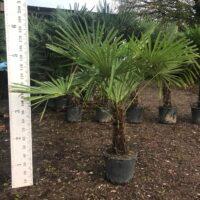 Trachycarpus fortunei - 40-60cm trunk