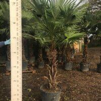 Trachycarpus fortunei - 80-90cm trunk