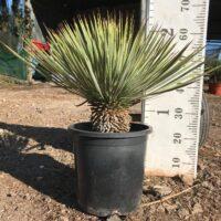 Yucca thompsoniana - 10 litre pot