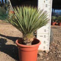 Yucca thompsoniana - 15 litre