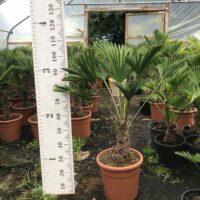 Trachycarpus wagnerianus - 15 litre 25- 30cm trunk