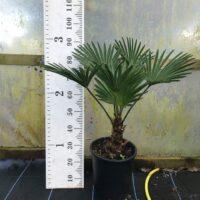 Trachycarpus wagnerianus - 12 litre 20-25 trunk