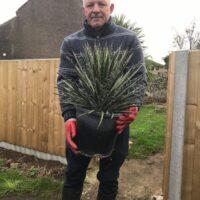 Yucca filifera - 10 litre