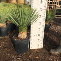 Yucca rostrata - 10 litre large