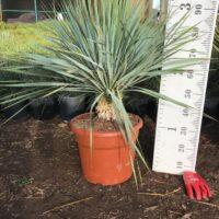 Yucca rostrata - 25 litre